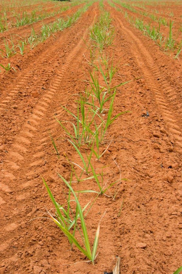 Terreno coltivabile della canna da zucchero del bambino immagine stock