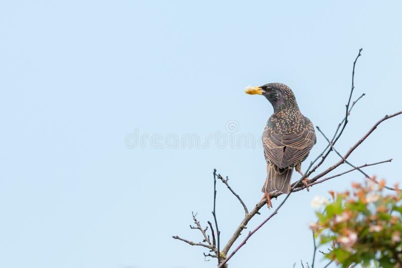 Terreno comunale che starling - Sturnus vulgaris immagine stock