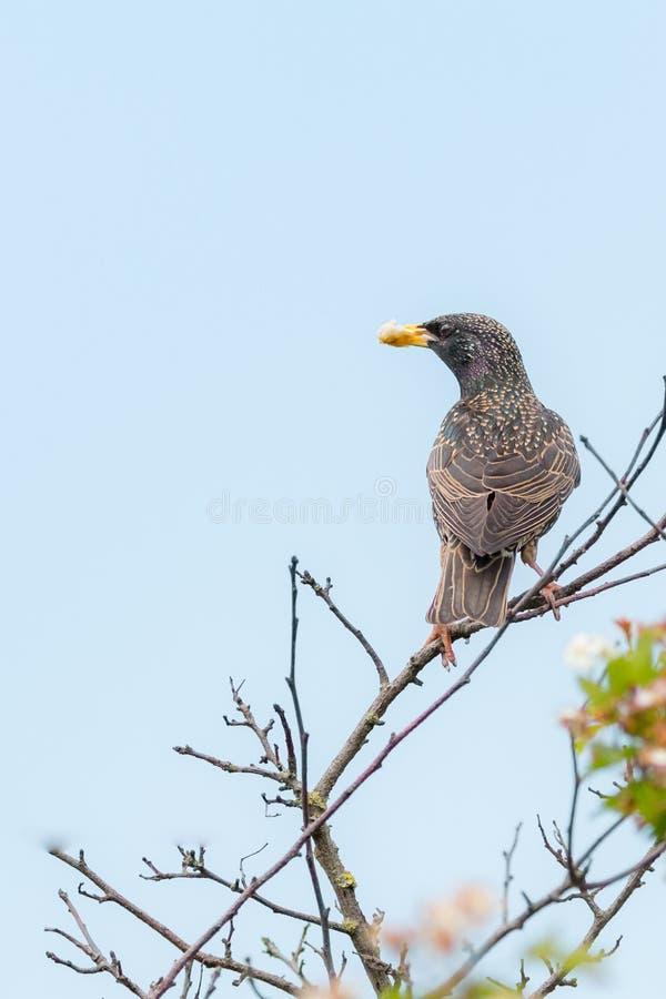 Terreno comunale che starling - Sturnus vulgaris fotografie stock