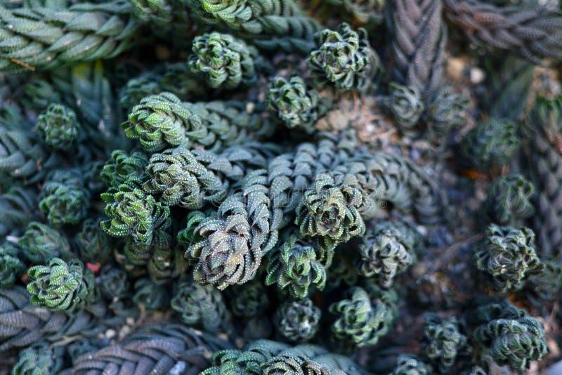Terreno coperto in bella crassulacee esotica di Haworthiopsis Reinwardtii fotografie stock libere da diritti