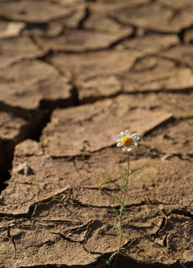 Terreno incrinato con un singolo fiore fotografia stock libera da diritti