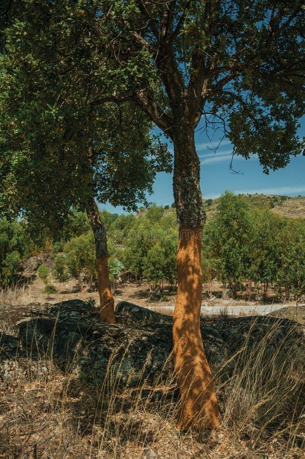 Terreno rocoso del campo y algunos ?rboles de corcho pelados imagen de archivo libre de regalías