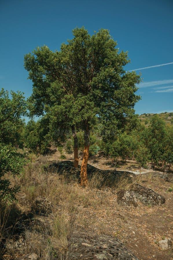 Terreno rocoso del campo y algunos ?rboles de corcho pelados fotos de archivo