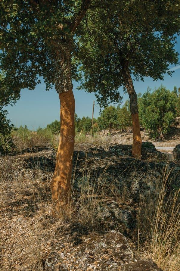Terreno rocoso del campo y algunos ?rboles de corcho pelados imágenes de archivo libres de regalías