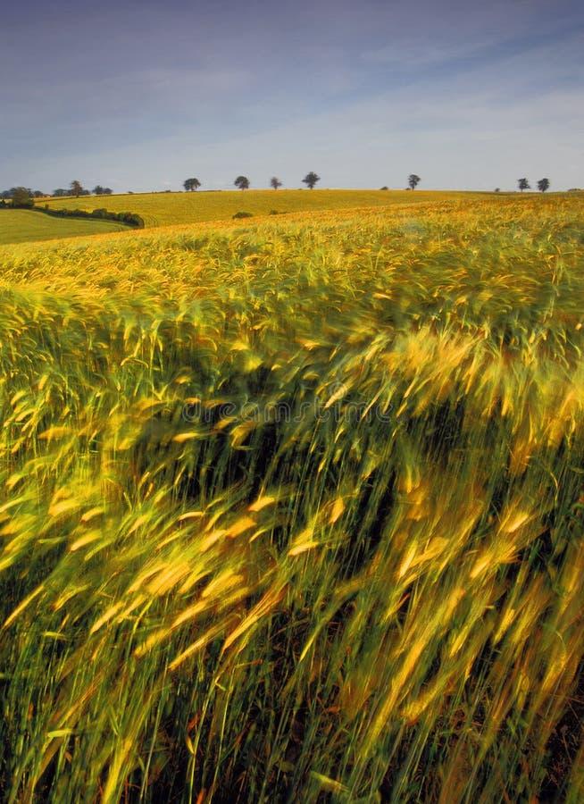 Terres cultivables avec des collectes de céréale photographie stock libre de droits