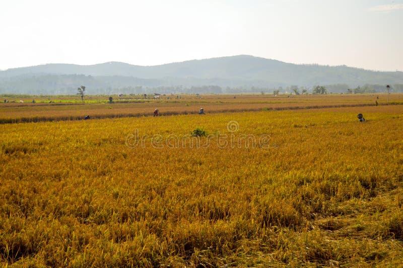 Terres cultivables d'or de riz pendant le matin photo stock