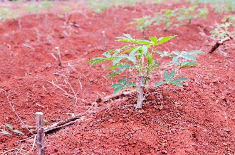 Terres cultivables de manioc photos libres de droits