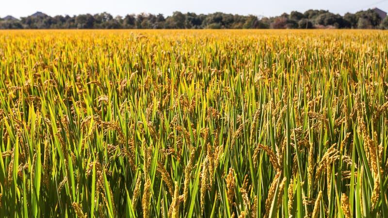 Terres cultivables de riz image stock