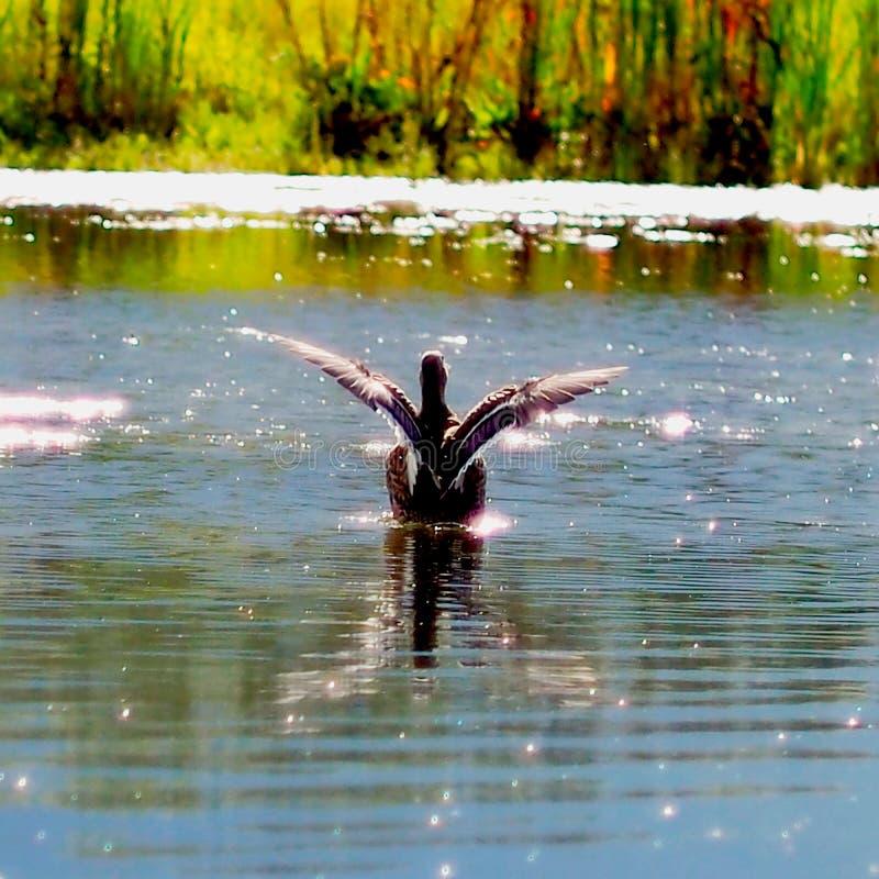 Terres de canard sur l'eau de la rivière envergure de canard photo libre de droits