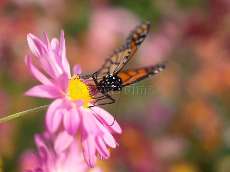 Terres de papillon sur la fleur rose de chrysanthème photographie stock libre de droits