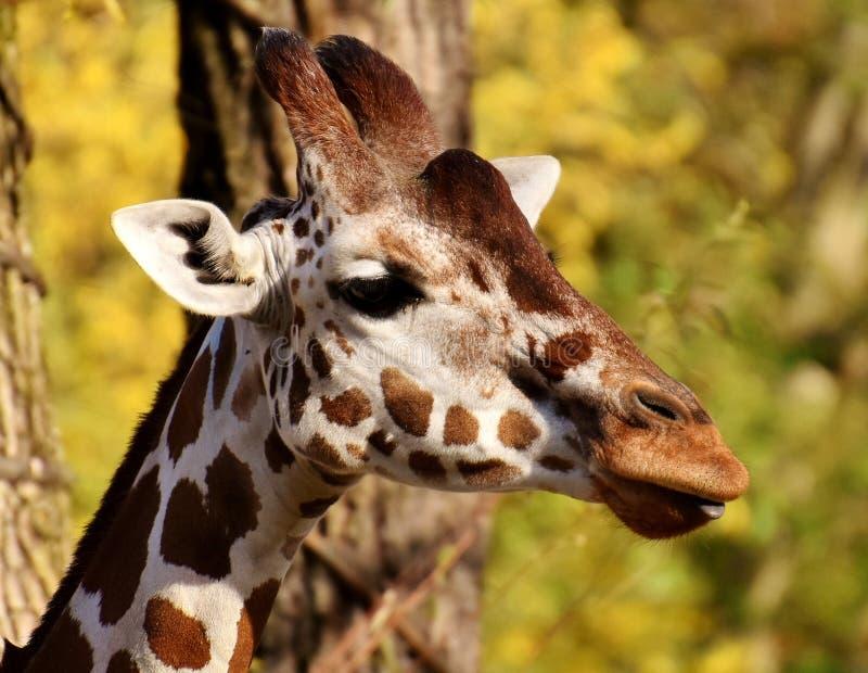 Terrestrial Animal, Giraffe, Wildlife, Fauna royalty free stock images