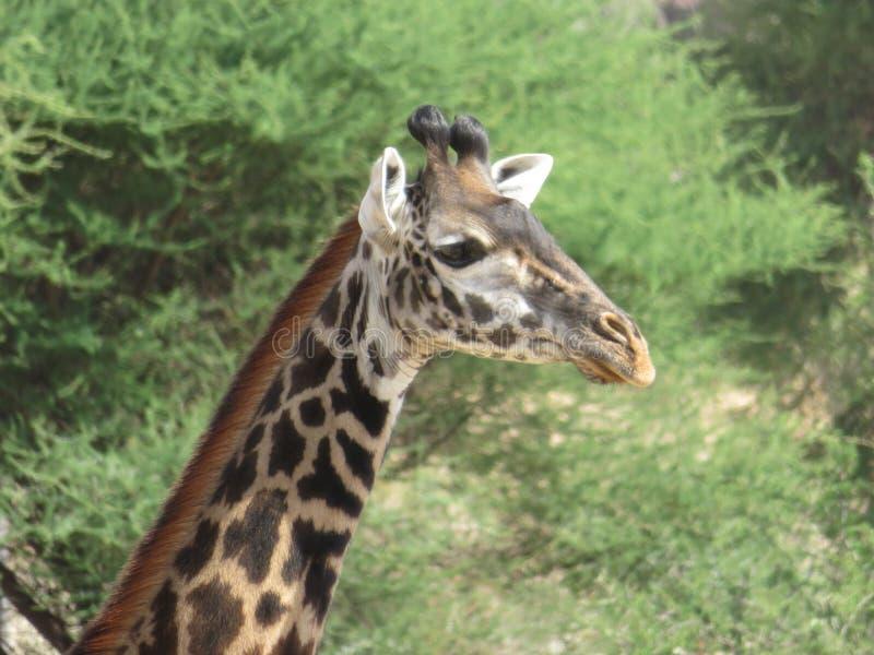 Terrestrial Animal, Giraffe, Wildlife, Fauna stock photo