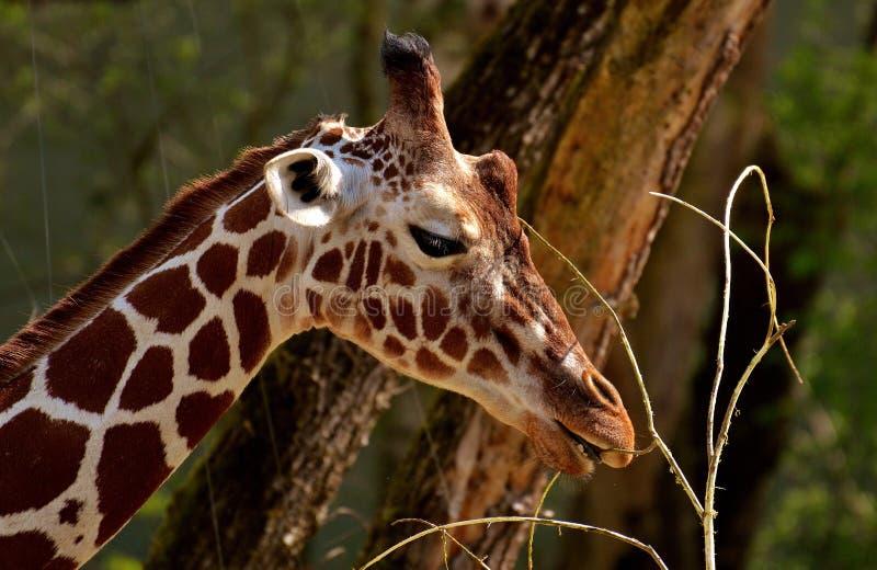 Terrestrial Animal, Giraffe, Wildlife, Giraffidae royalty free stock images