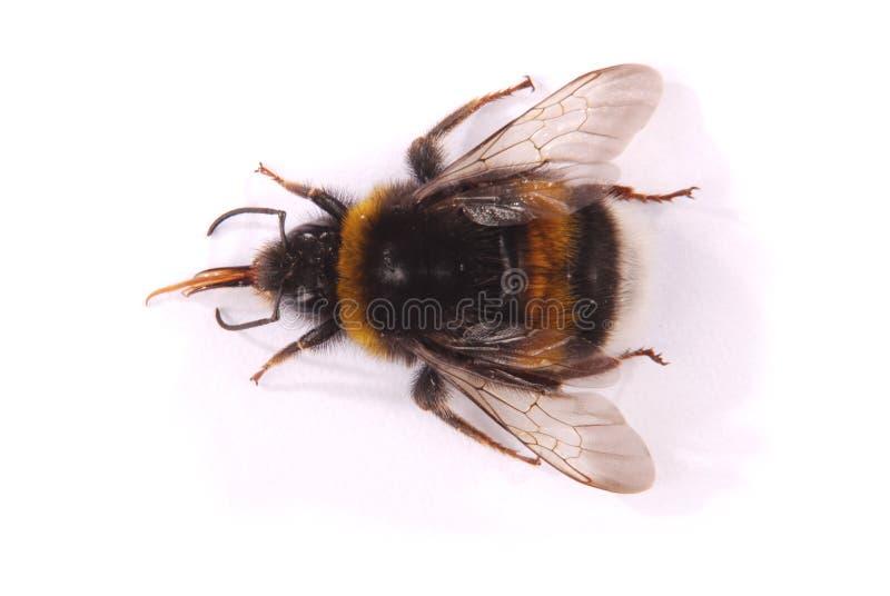 Terrestris del Bombus del abejorro foto de archivo