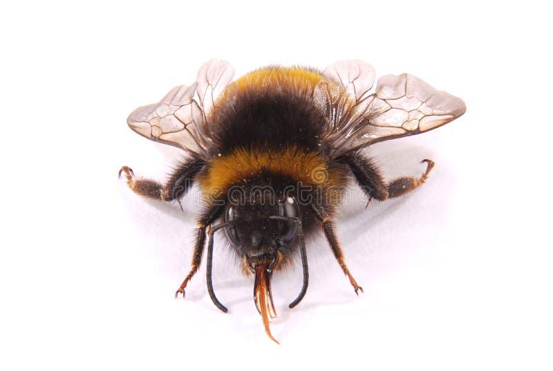 Terrestris del Bombus del abejorro fotografía de archivo