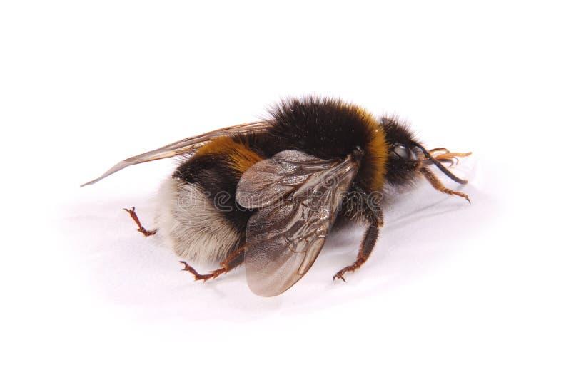 Terrestris del Bombus del abejorro fotos de archivo
