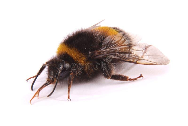 Terrestris del Bombus del abejorro imagenes de archivo