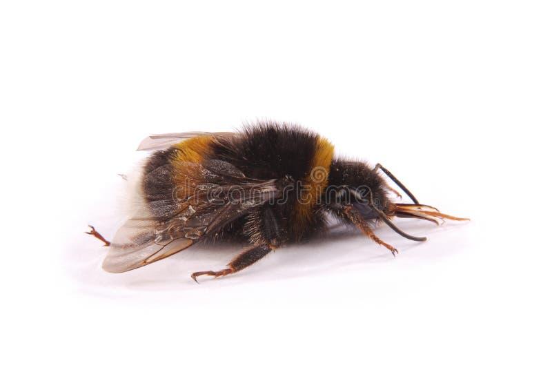 Terrestris del Bombus del abejorro foto de archivo libre de regalías
