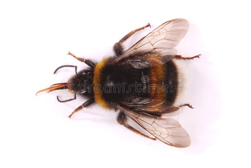 Terrestris del Bombus del abejorro fotografía de archivo libre de regalías