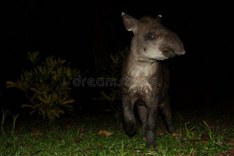 Terrestris sud-américains de Tapirus de tapir dans l'habitat naturel pendant la nuit, animal mignon de bébé avec des rayures, por photo stock