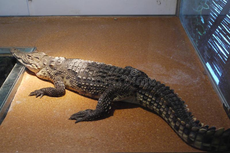 A terrible and dangerous big crocodile behind the glass in the zoo. For your design stock photography