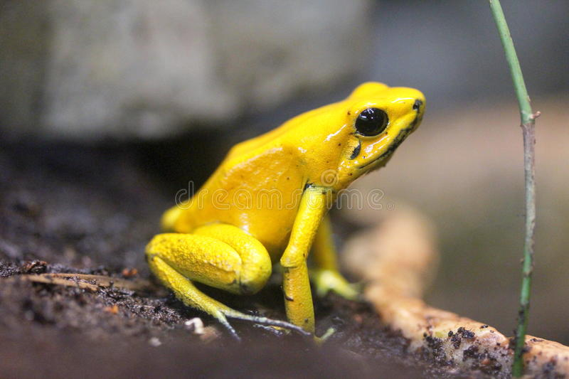Terrible poison dart frog (Phyllobates bilis) royalty free stock photography