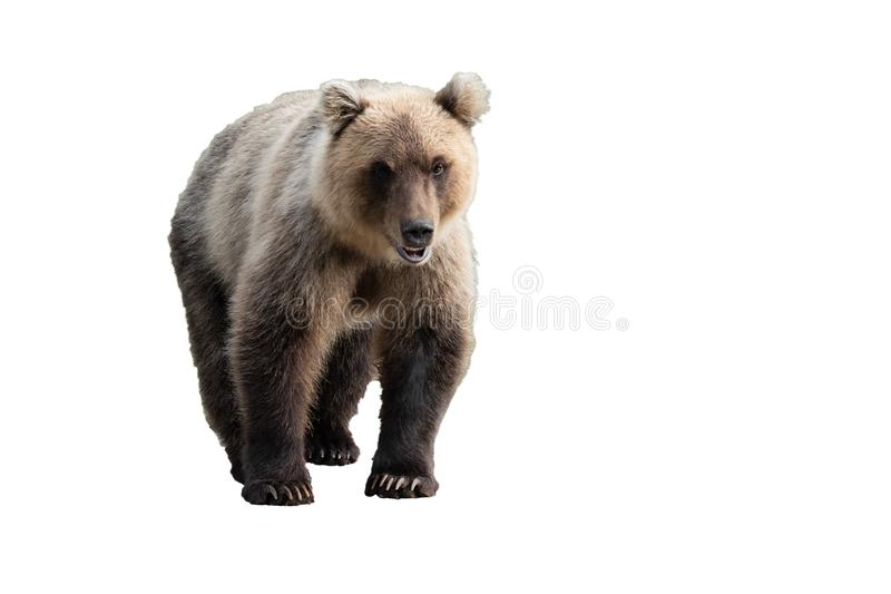 Terrible wild Kamchatka brown bear. Isolated on white background, copy space royalty free stock photography