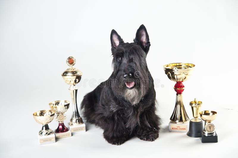 Terrier écossais avec des médailles et des tasses photographie stock