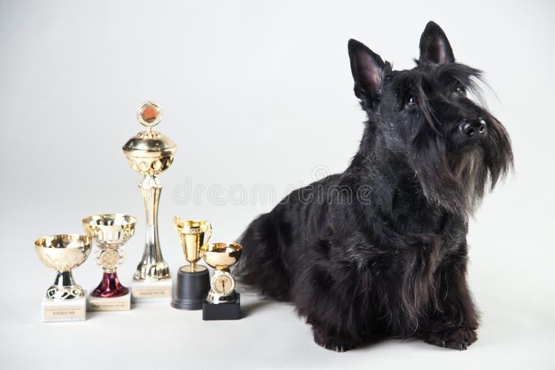 Terrier écossais avec des médailles et des tasses photo libre de droits