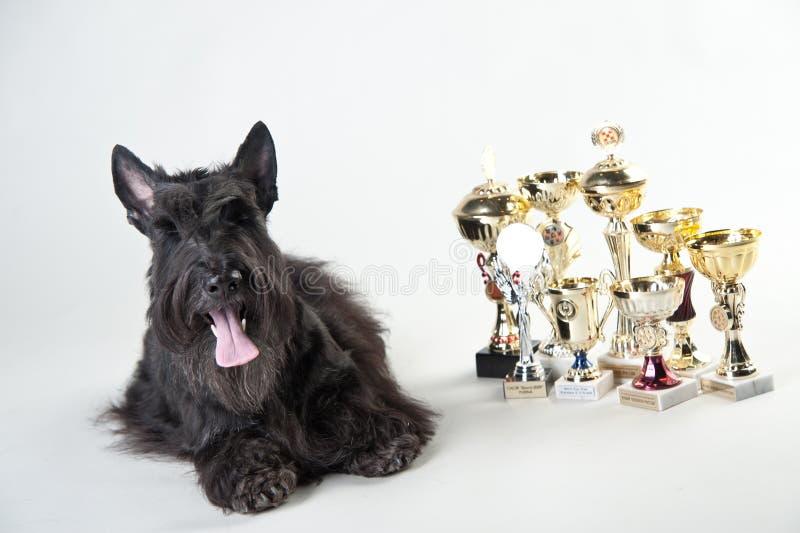 Terrier écossais avec des médailles et des tasses photo stock