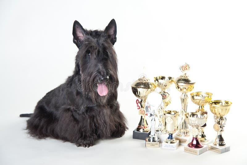 Terrier écossais avec des médailles et des tasses image stock
