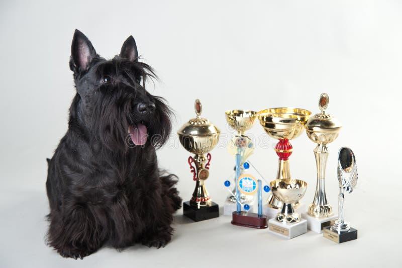 Terrier écossais avec des médailles et des tasses photographie stock libre de droits