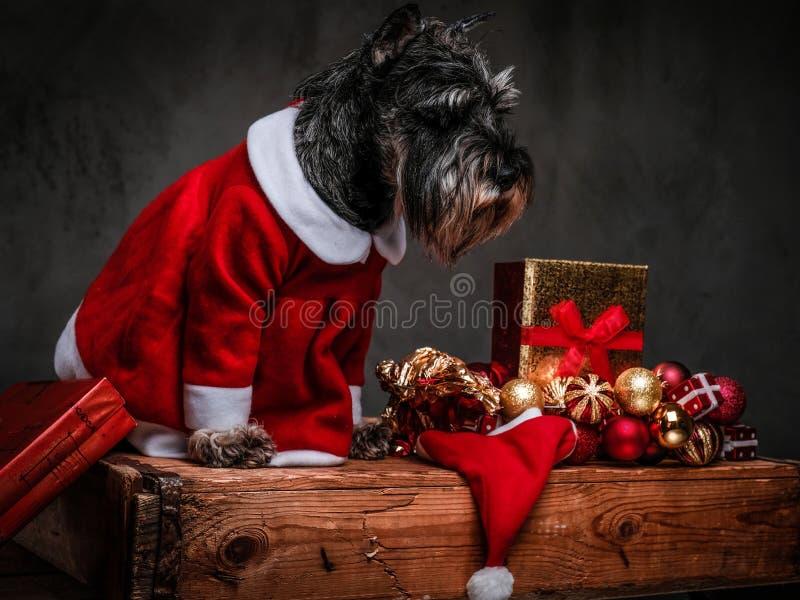 Terrier écossais mignon utilisant le costume de Santa regardant vers le bas tout en se reposant sur une palette en bois entourée  photos stock
