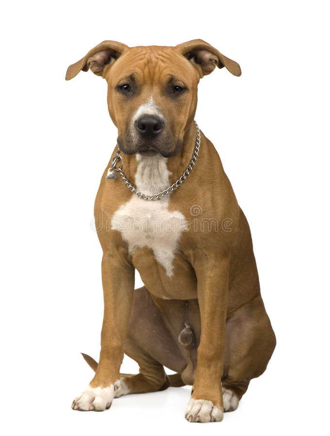 terrier американского staffordshire стоковые фотографии rf