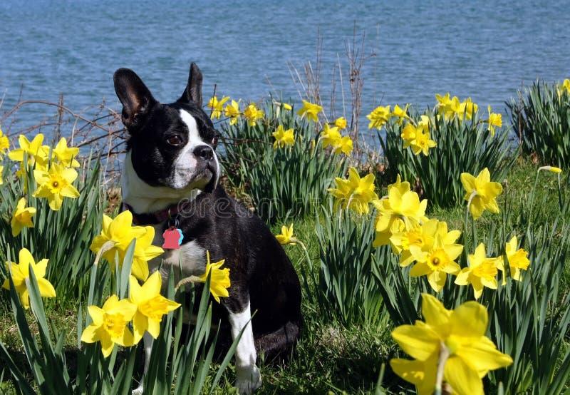 Terrier Бостон среди daffodils стоковые изображения rf