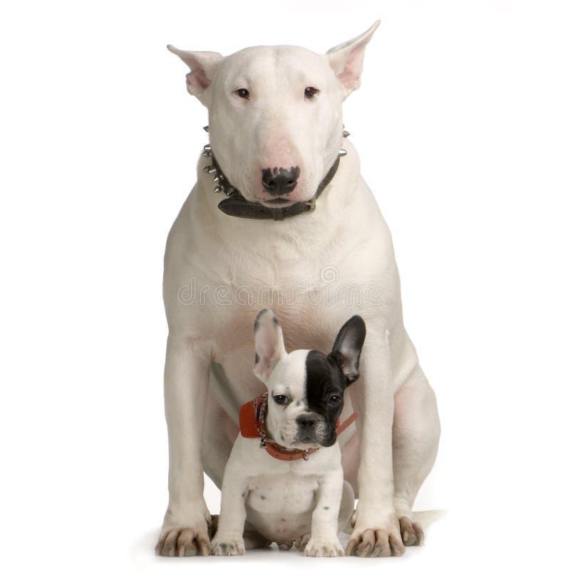 terrier быка