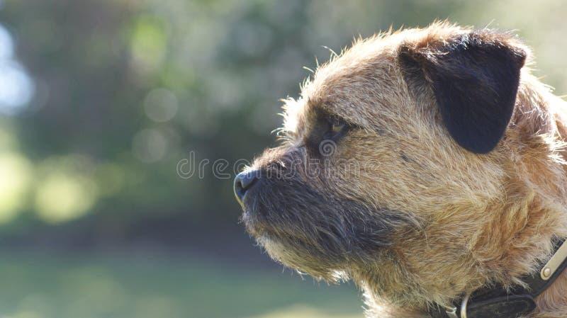terrier граници дерзкий стоковая фотография rf
