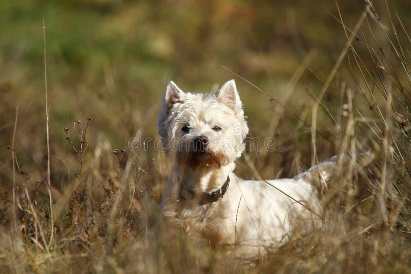 terrier заманчивостей стоковое изображение rf