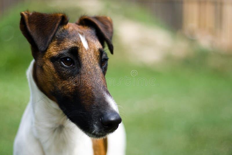terrier лисицы стоковая фотография rf