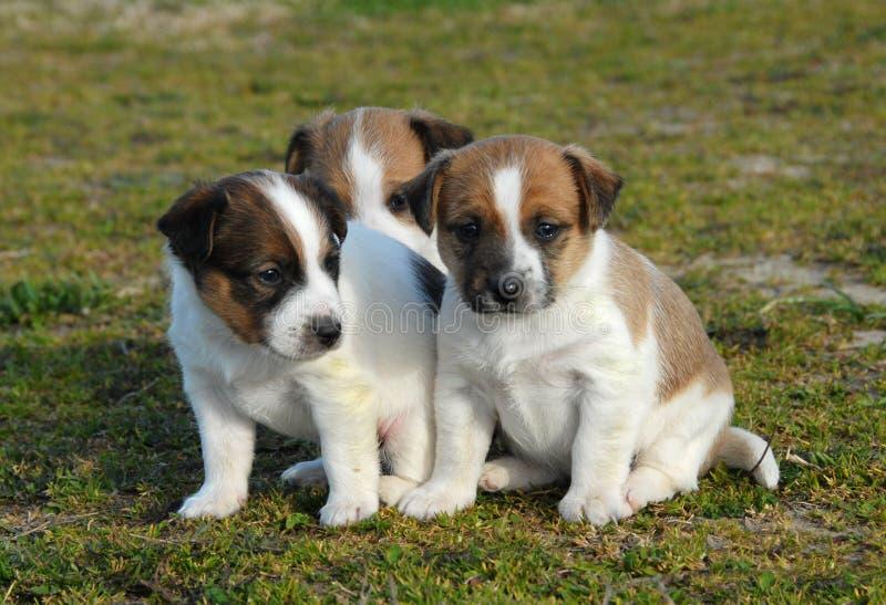 terrier 3 russel щенят jack стоковые изображения
