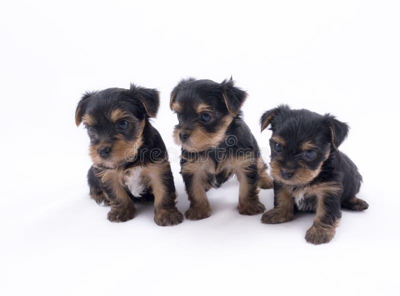 terrier 3 yorkshire щенят стоковые изображения