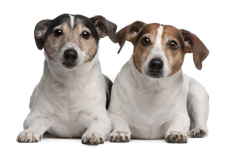 Terrier-, 6 und 12jahre Jack-Russell alt, liegend lizenzfreies stockfoto