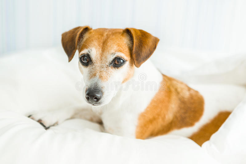 Terrier adorabile di Jack Russell del cane che sembra attento, fotografia stock
