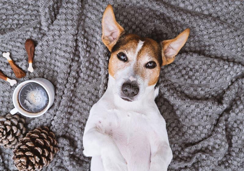 Terrier adorabile di russell della presa che si trova sulla coperta con la tazza di caffè e gli ossequi fotografie stock libere da diritti