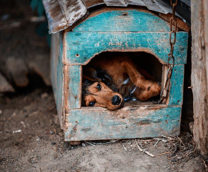 Terrier alemán hermoso de la caza Jagdterrier fotos de archivo