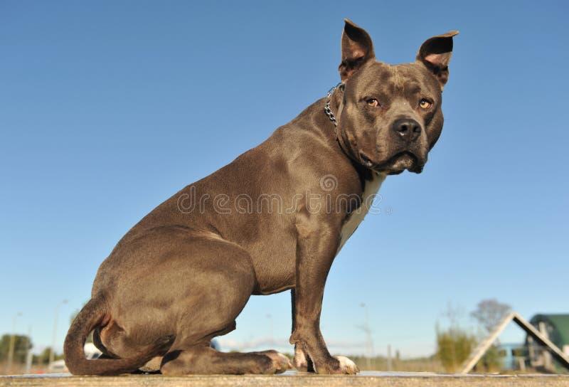 terrier americano dello Staffordshire del toro fotografie stock libere da diritti