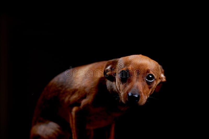 Terrier assustado pequeno no preto fotografia de stock