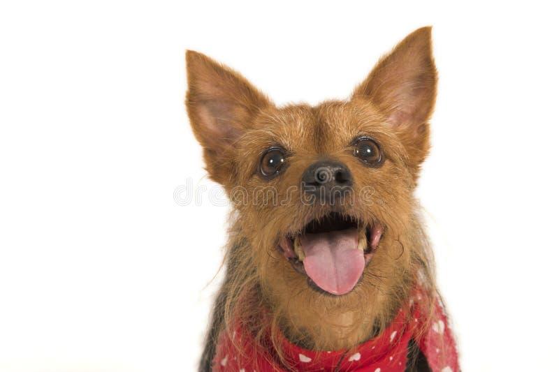 Download Terrier atento imagem de stock. Imagem de mamífero, curioso - 12807623