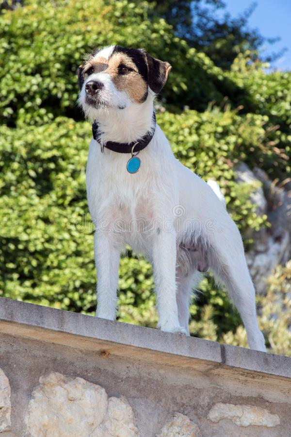 Terrier attentif gardant la maison photo stock