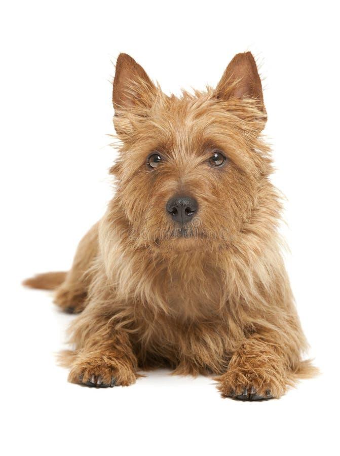 Terrier australiano fotografía de archivo